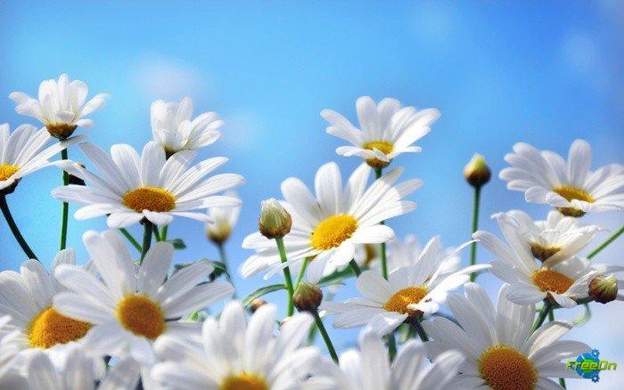 Широкоформатные обои на рабочий стол цветы